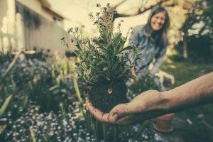 Pflanze wird mit Wurzel in die Kamera gehalten. Gartenarbeit
